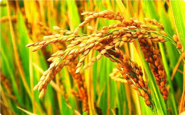 国学风水师姜军首谈稻穗与稗草的特殊关系